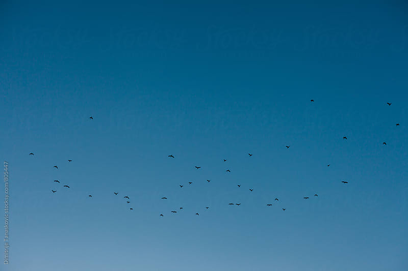 School of birds in the sky by Dimitrije Tanaskovic for Stocksy United