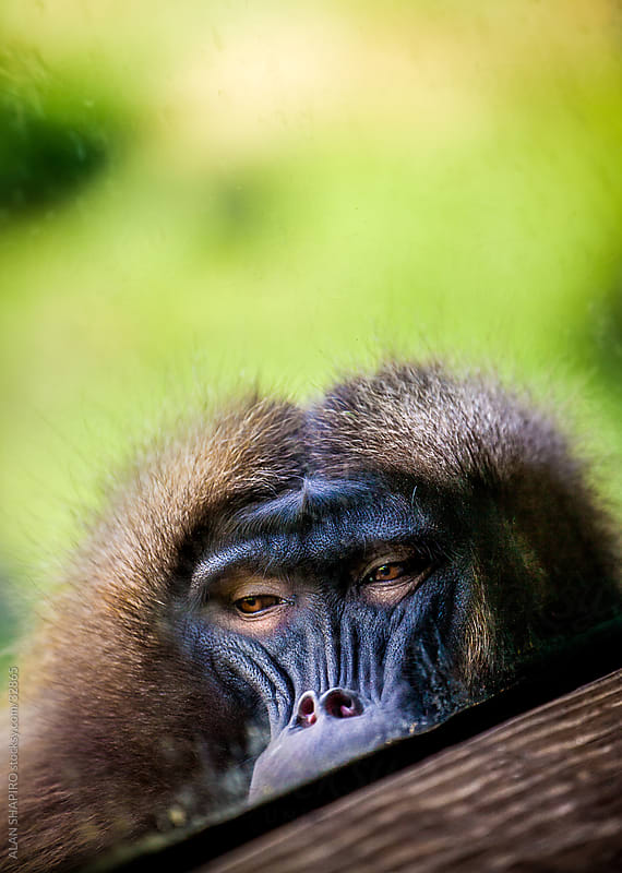 Forlorn Gelada by alan shapiro for Stocksy United