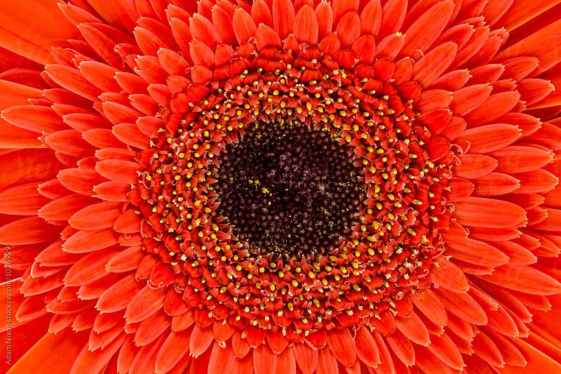 Orange gerbera daisy by Adam Nixon for Stocksy United