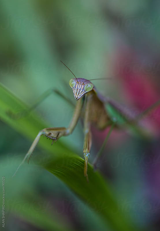 Praying Mantis in the garden by alan shapiro for Stocksy United
