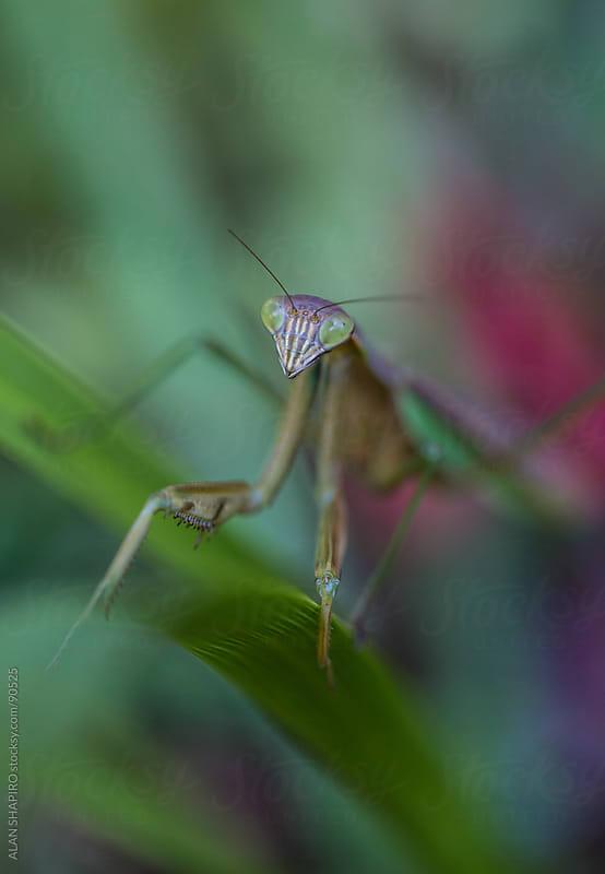 Praying Mantis in the garden by ALAN SHAPIRO for Stocksy United