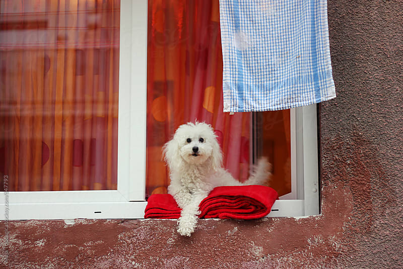 Cute little dog sitting on a window by Maja Topcagic for Stocksy United