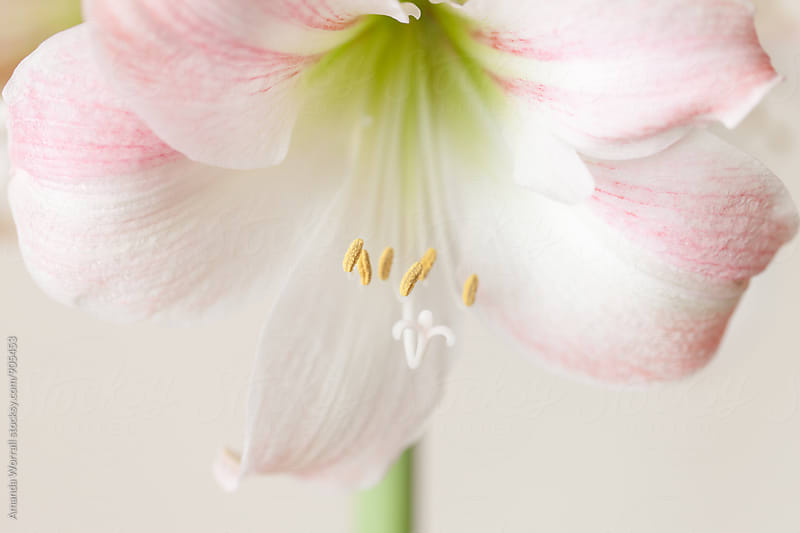 Macro of an Apple Blossom Amaryllis in bloom by Amanda Worrall for Stocksy United