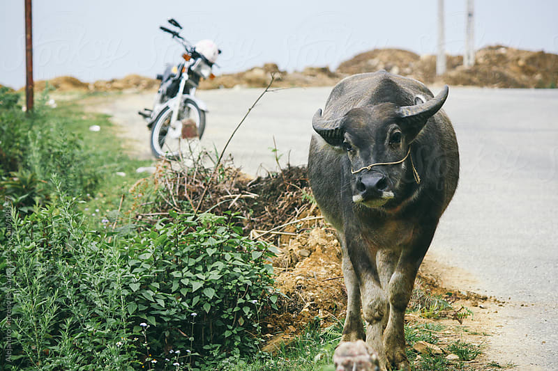 Water buffalo and motorbike by Alejandro Moreno de Carlos for Stocksy United