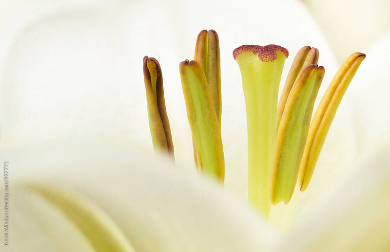 Lily, closeup by Mark Windom for Stocksy United