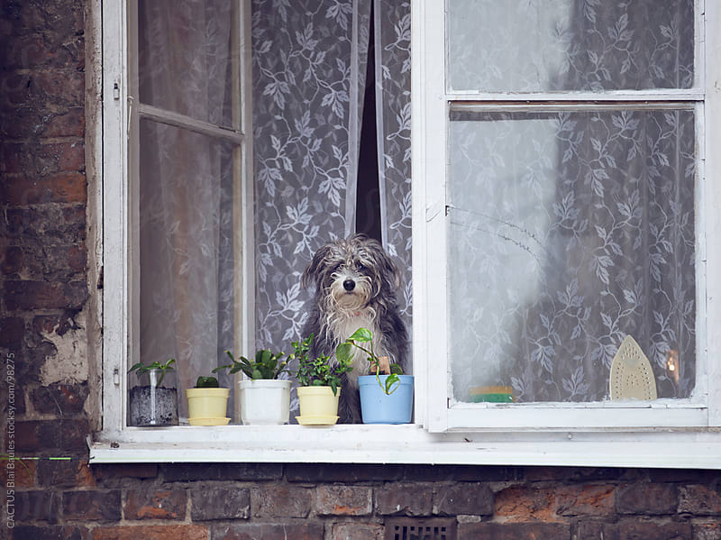 Dog looking from the window by CACTUS Blai Baules for Stocksy United