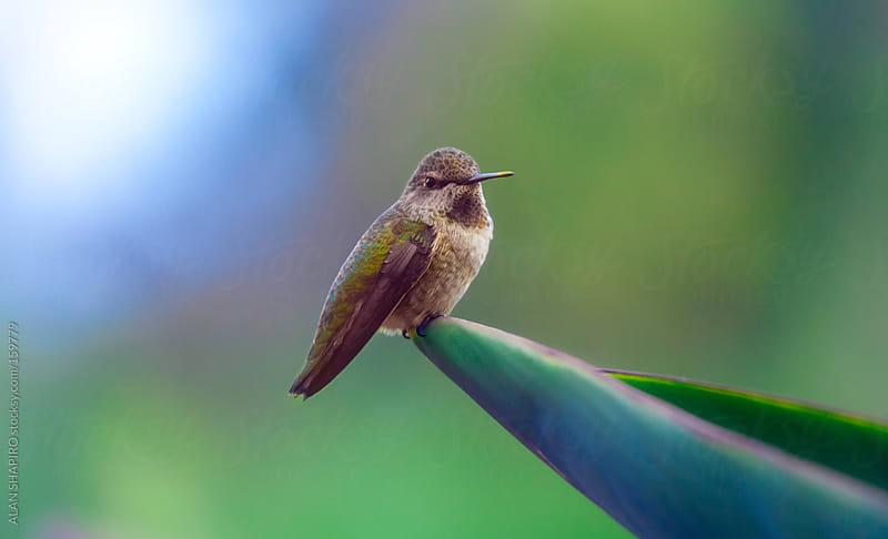 Hummingbird on aloe by ALAN SHAPIRO for Stocksy United