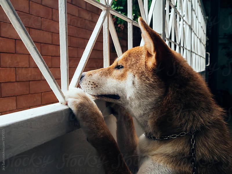 shiba dog by jira Saki for Stocksy United