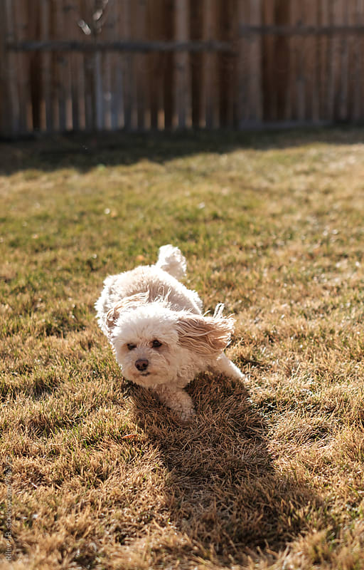 A small dog runs in a backyard by Riley J.B. for Stocksy United