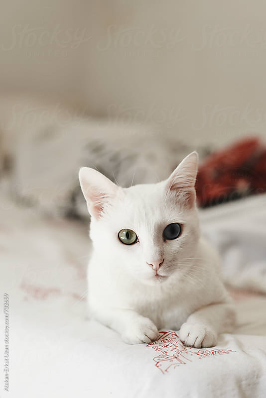 white odd-eyed cat by Atakan-Erkut Uzun for Stocksy United