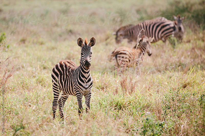 baby zebra by Cameron Zegers for Stocksy United