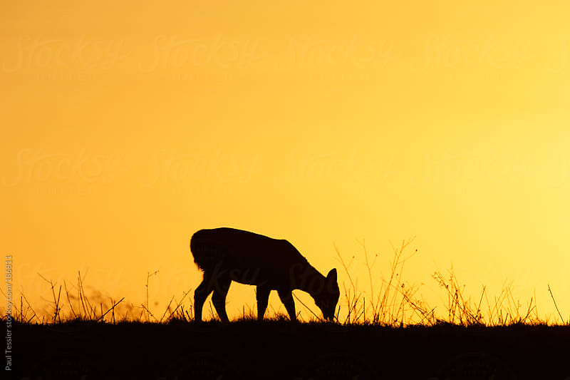 Deer at Sunrise by Paul Tessier for Stocksy United