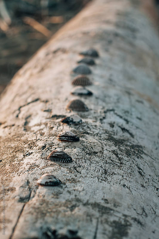 Shells in a row on a big trunk on the beach by Beatrix Boros for Stocksy United