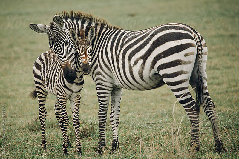 Mother and baby zebra by Chris Werner for Stocksy United