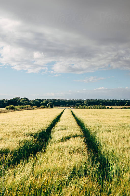 Field of barley at sunset. Norfolk, UK. by Liam Grant for Stocksy United