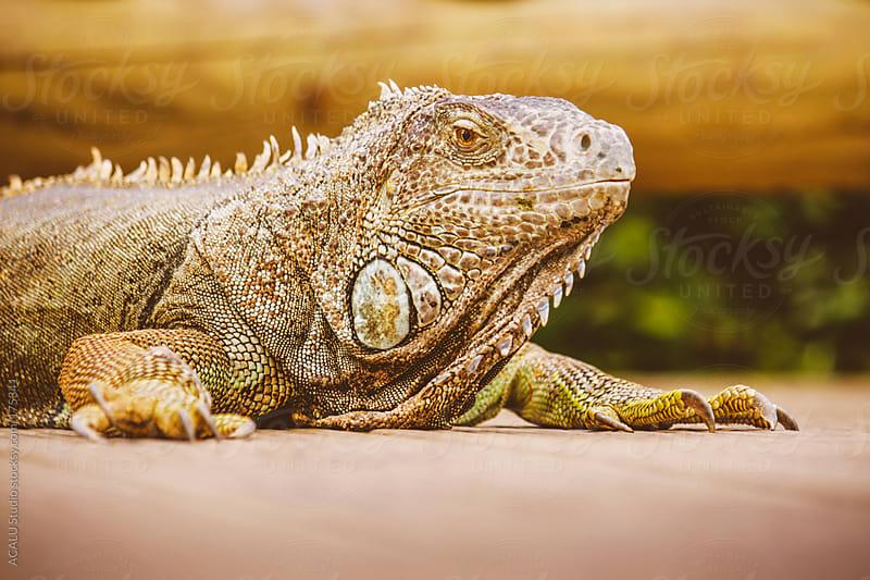 Iguana side by ACALU Studio for Stocksy United