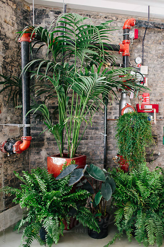 A group of large indoor potted plants.  by Kristen Curette Hines for Stocksy United