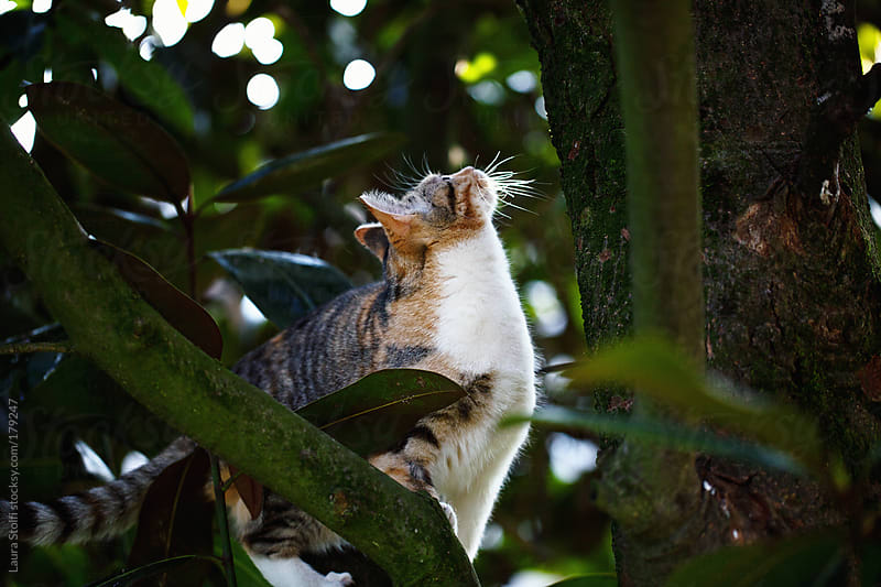 Cat stands on tree branch and looks up by Laura Stolfi for Stocksy United