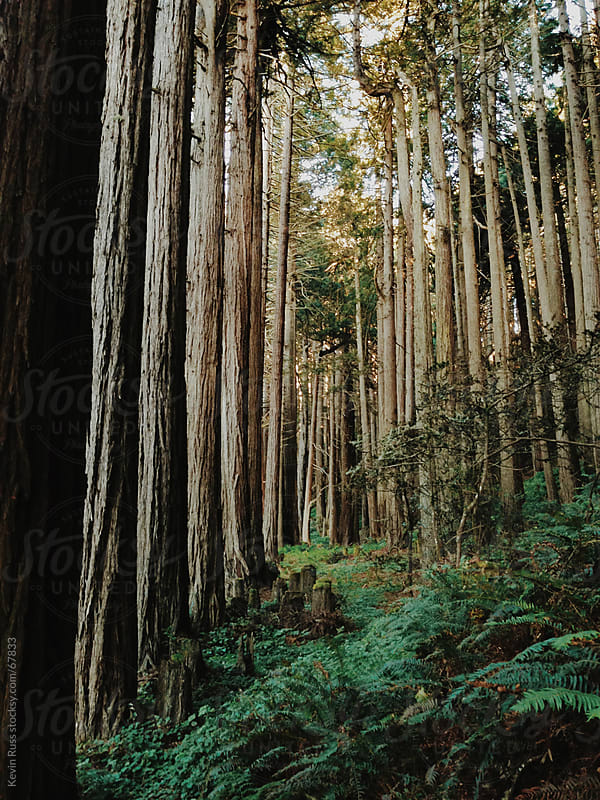 Rows of Redwood Trees by Kevin Russ for Stocksy United