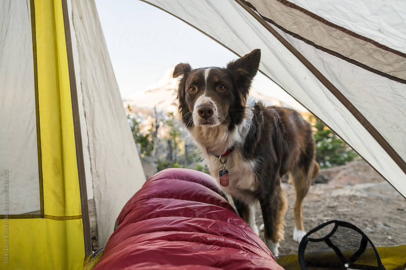 Dog standing at the opening of the tent at dawn. by Isaac Lane Koval for Stocksy United