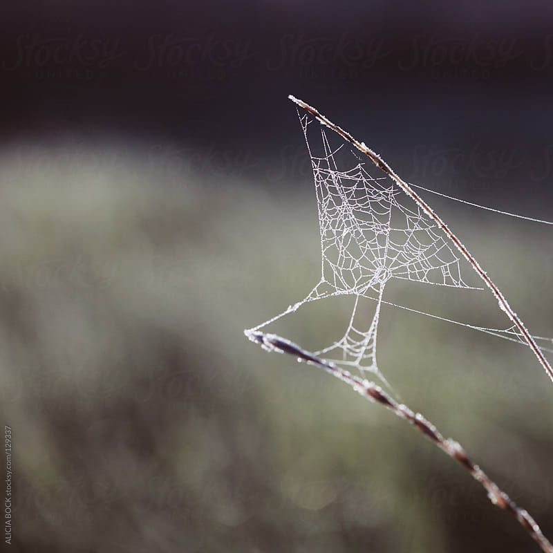 Frost Covered Spider Web by ALICIA BOCK for Stocksy United