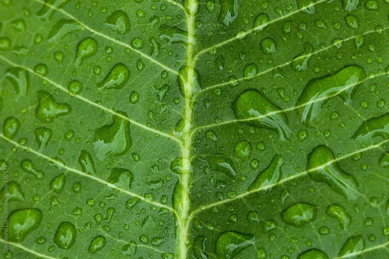 Dewdrops on a Leaf by Goldmund Lukic for Stocksy United