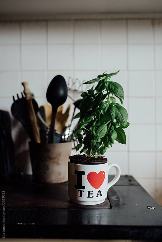 basil plant in tea cup by Léa Jones for Stocksy United