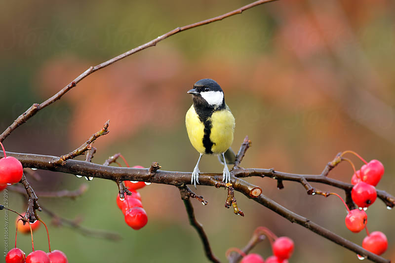great tit on crab apple branch by Marcel for Stocksy United