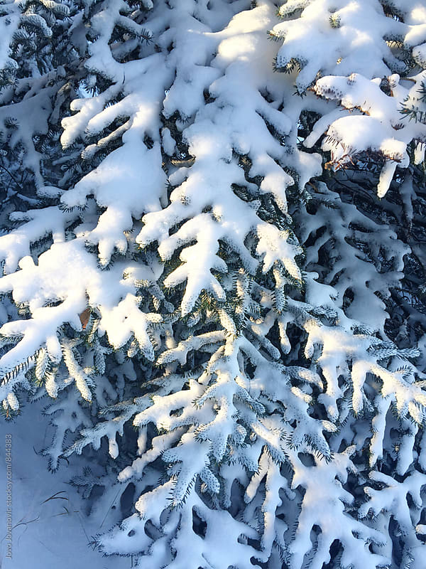Branches of a pine tree covered in fresh white snow by Jovo Jovanovic for Stocksy United