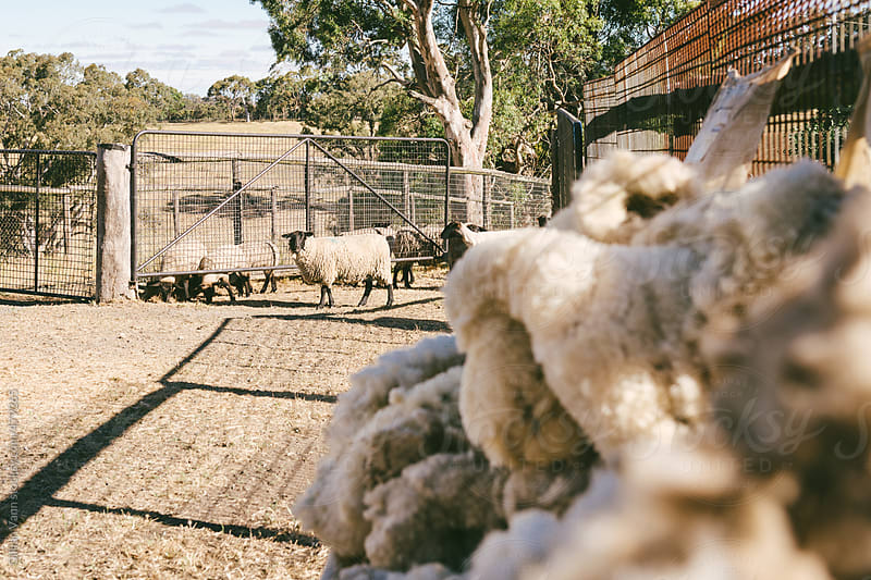 wool fleece piled up with wooly ewe in the background by Gillian Vann for Stocksy United
