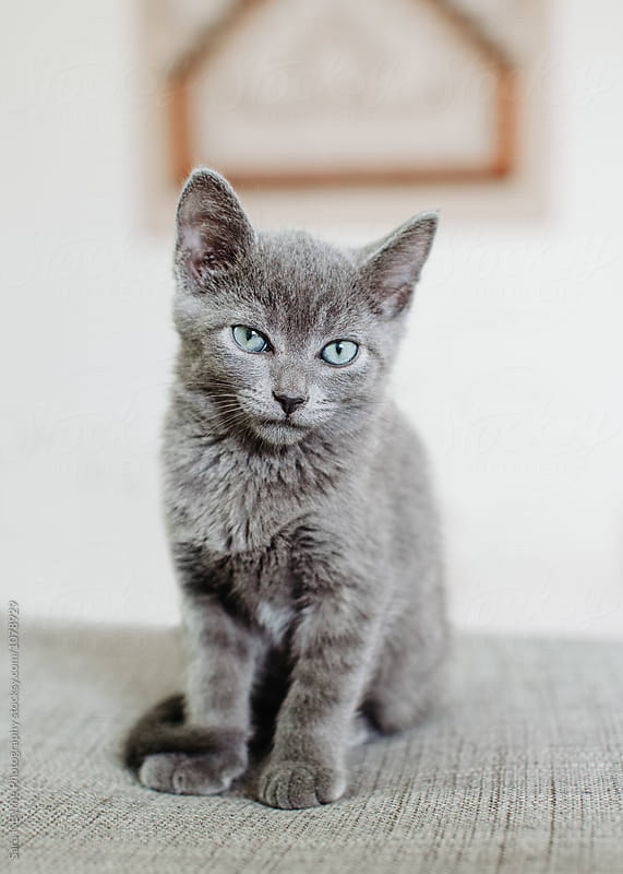 Russian Blue Kitten by Sara K Byrne Photography for Stocksy United