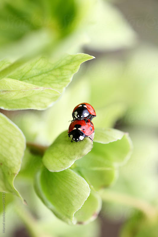 Mating ladybugs on a flower by Marcel for Stocksy United