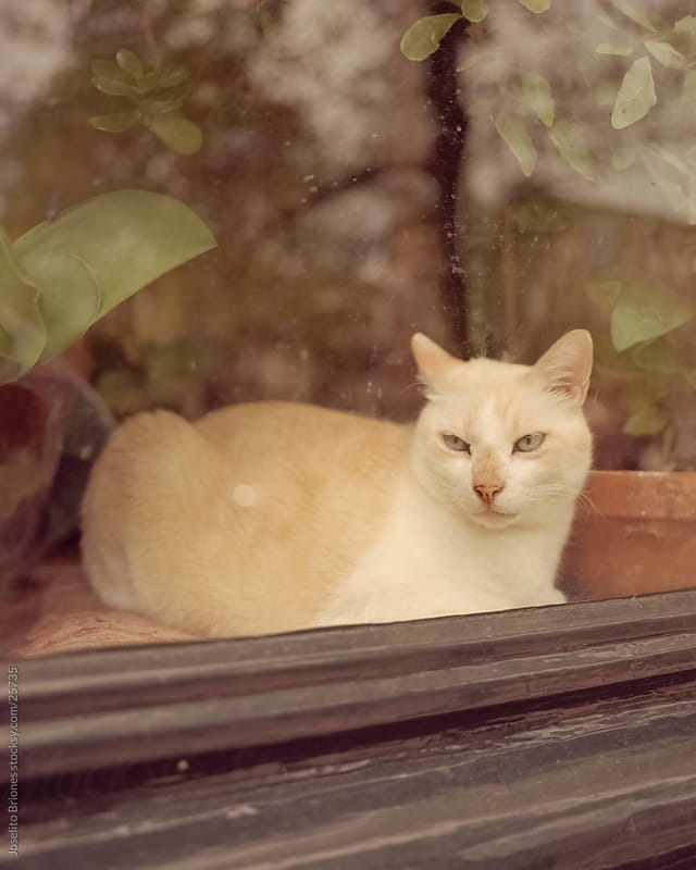 Cat Watching from a Window by Joselito Briones for Stocksy United