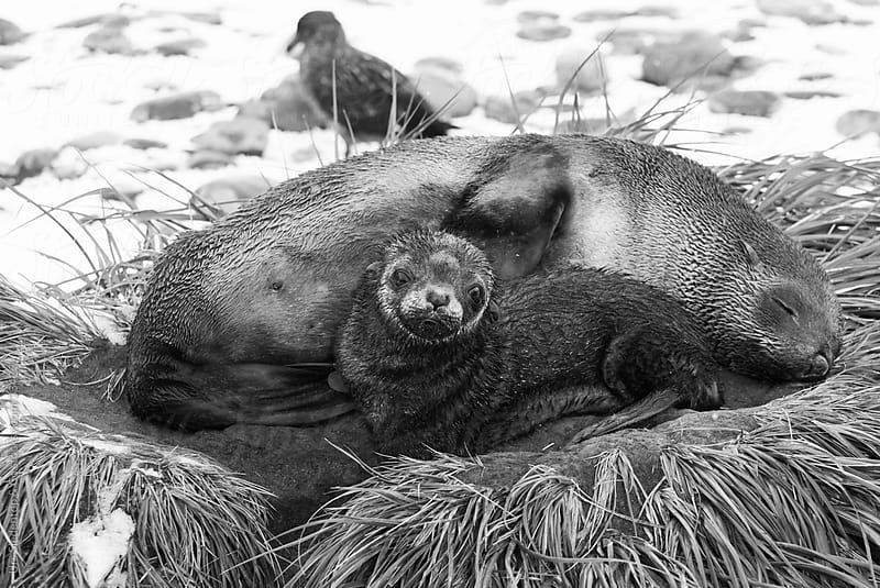 Young sea lion with sleeping mother by Urs Siedentop & Co for Stocksy United