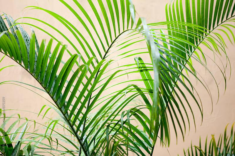 Palm leaf on a plain background. by Shikhar Bhattarai for Stocksy United
