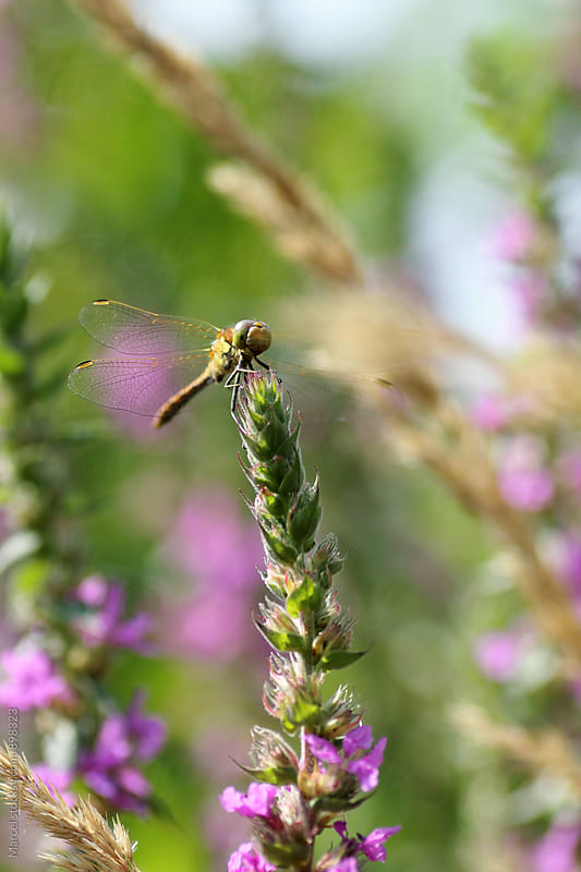 Dragonfly on lythrum flower by Marcel for Stocksy United