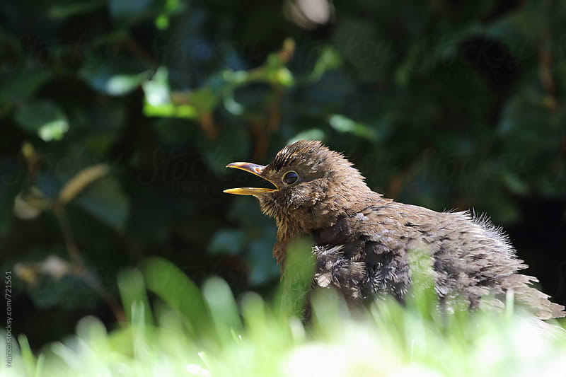 Young blackbird calling its parents by Marcel for Stocksy United
