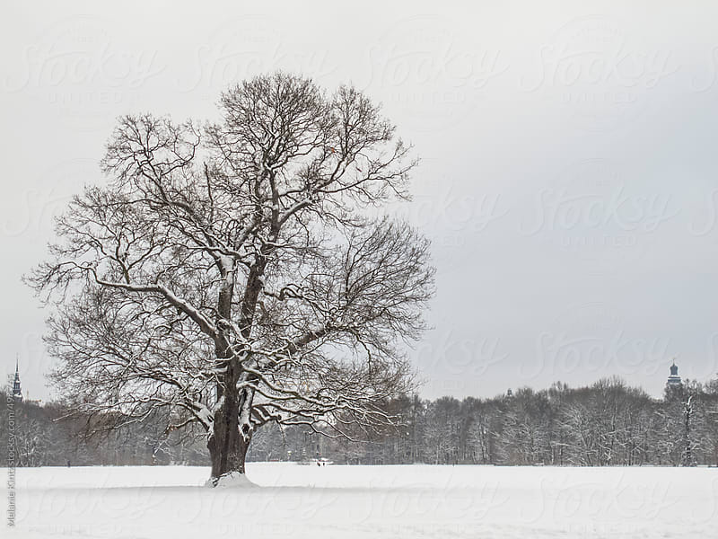 Oak tree in a wintery park by Melanie Kintz for Stocksy United