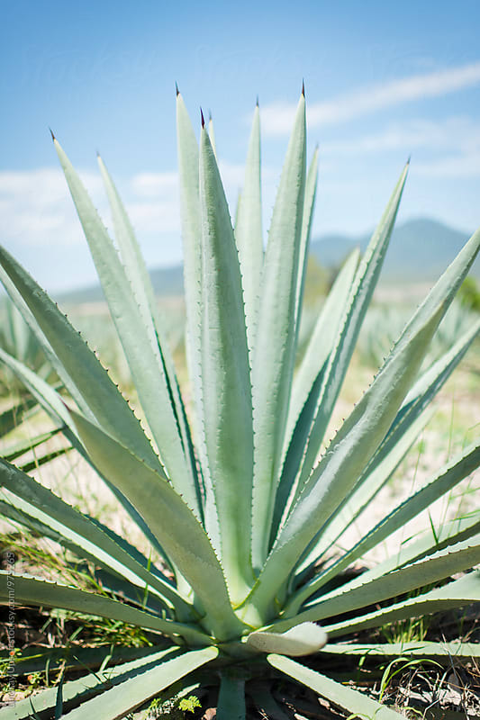 Agave Portrait by Lindsay Upson for Stocksy United