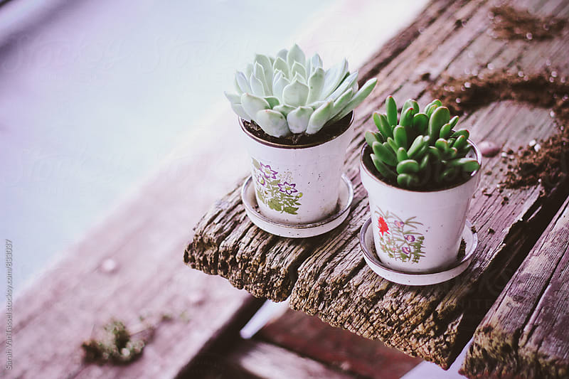 A Pair of Succulents by Sarah VanTassel for Stocksy United