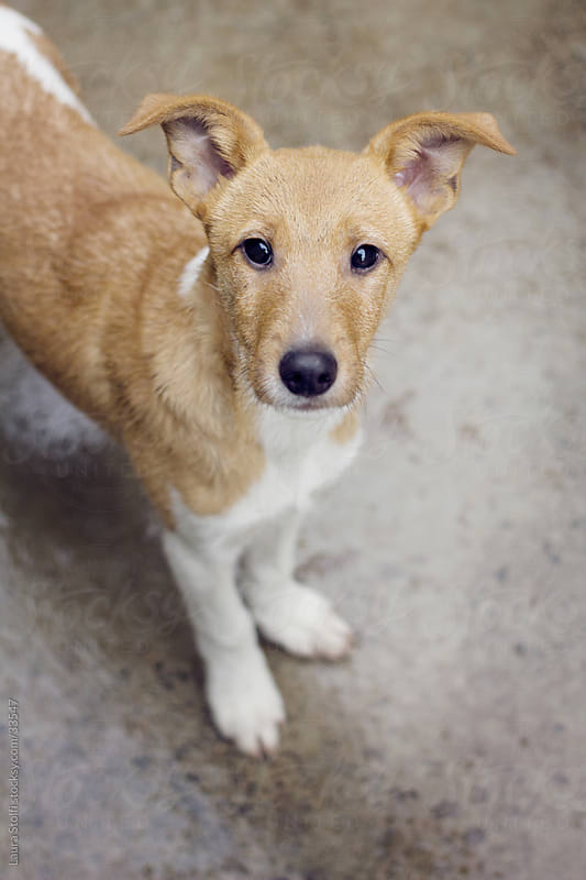 Close-up of beautiful crossbreed puppy seen from above while looking at the camera by Laura Stolfi for Stocksy United