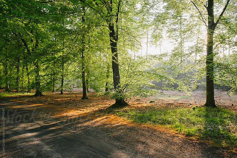 Evening sunlight through Beech trees lining a remote counrty road in Spring. Norfolk, UK. by Liam Grant for Stocksy United