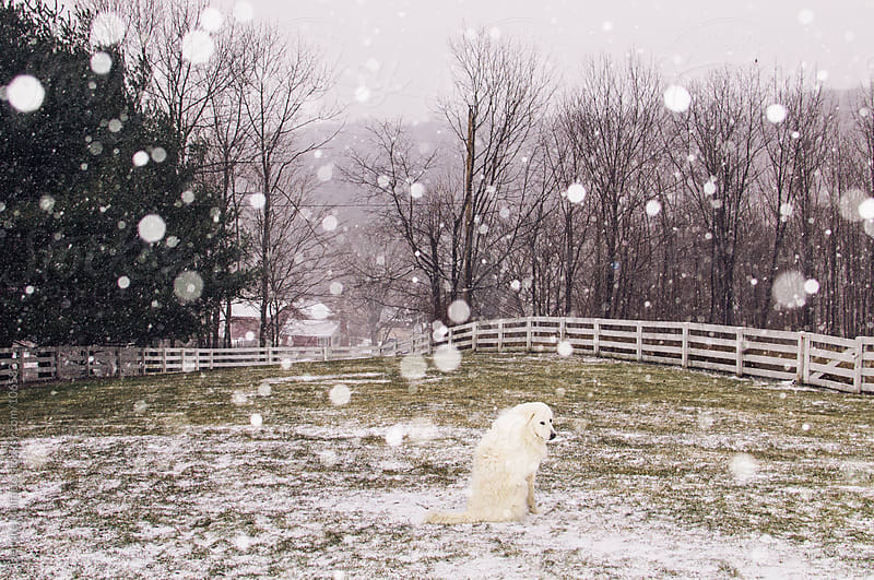white dog in a field with snow by Deirdre Malfatto for Stocksy United