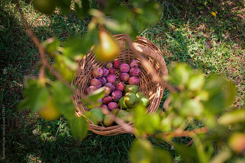 Picking Organic Plums & Pears by Rowena Naylor for Stocksy United