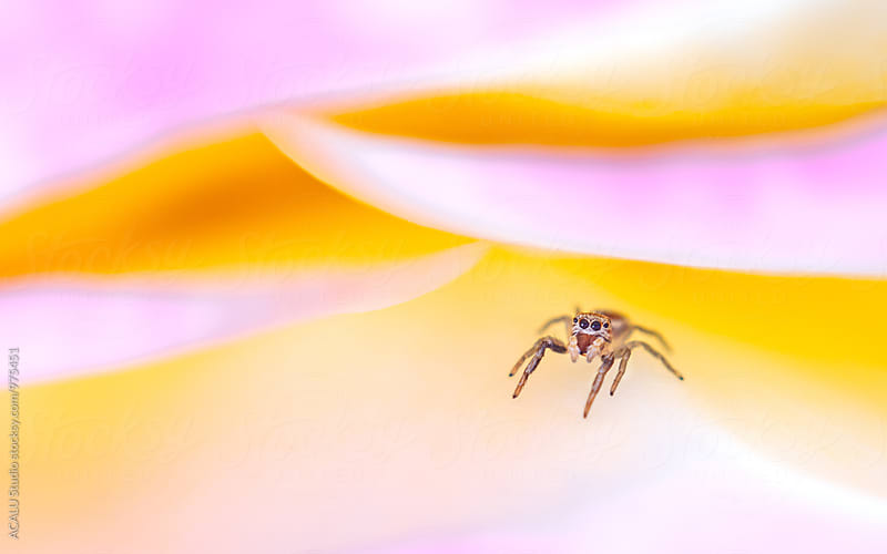 Jumping spider on a flower by ACALU Studio for Stocksy United