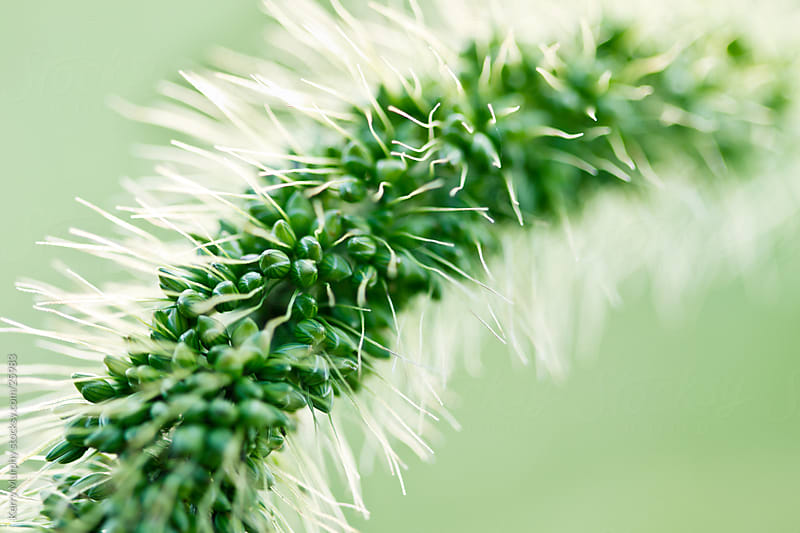 Macro of green grass weed by Kerry Murphy for Stocksy United