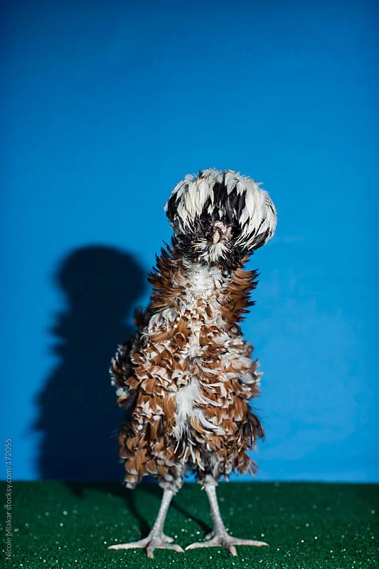 Chicken - Polish by Nicole Mlakar for Stocksy United
