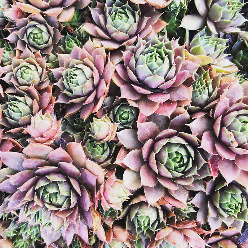 Succulents by Chelsea Victoria for Stocksy United