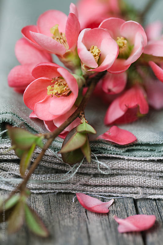Cherry Blossom flowers and linen fabric by Alberto Bogo for Stocksy United