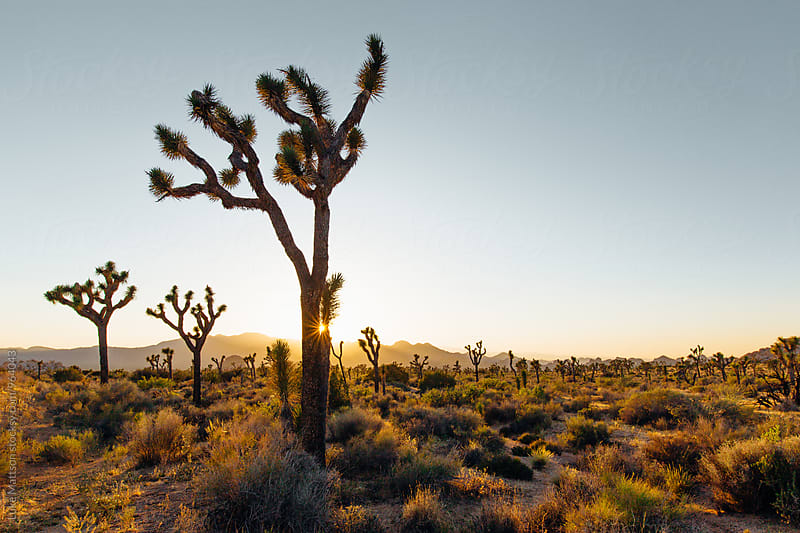 Desert Joshua Trees At Sunset by Luke Mattson for Stocksy United